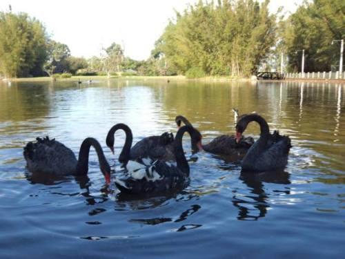 cisnes estes
